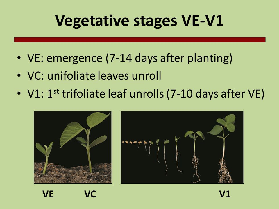 Vegetative stages VE-V1