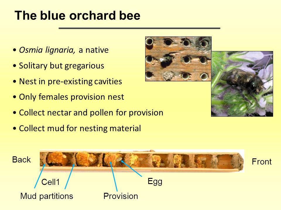 The blue orchard bee Osmia lignaria, a native Solitary but gregarious