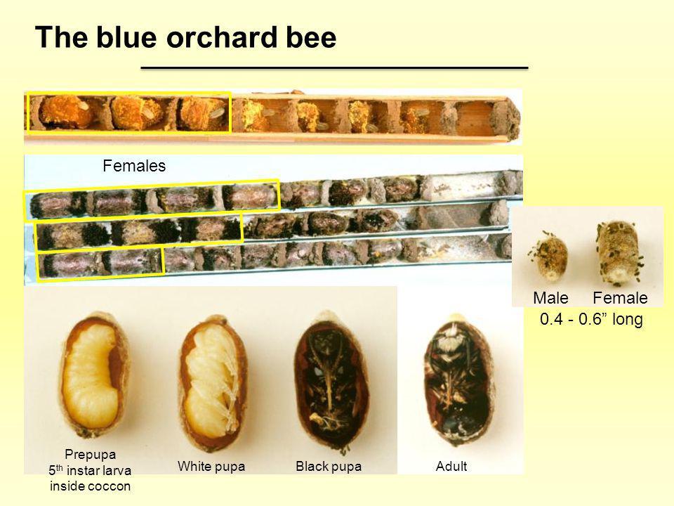 5th instar larva inside coccon