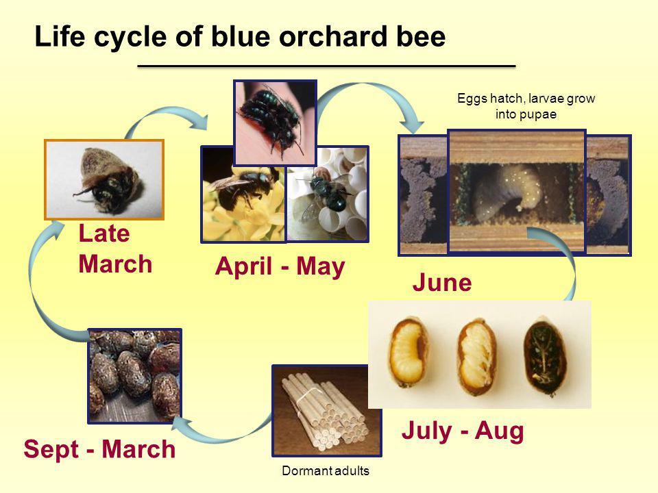 Eggs hatch, larvae grow into pupae