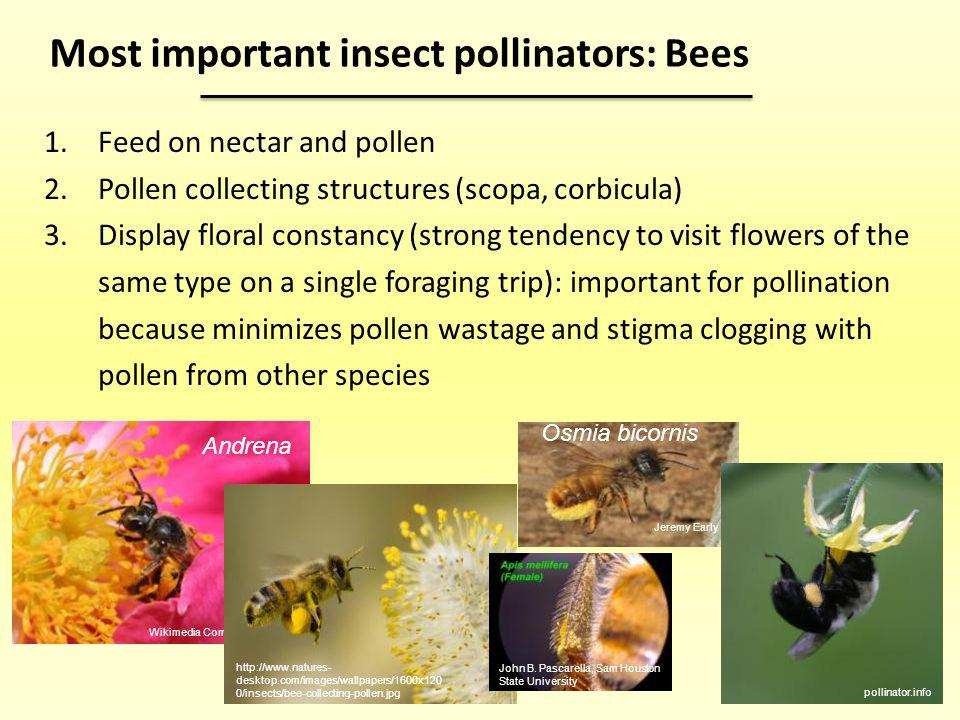 Most important insect pollinators: Bees