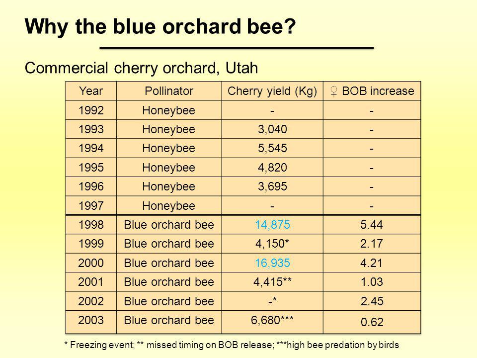 Why the blue orchard bee
