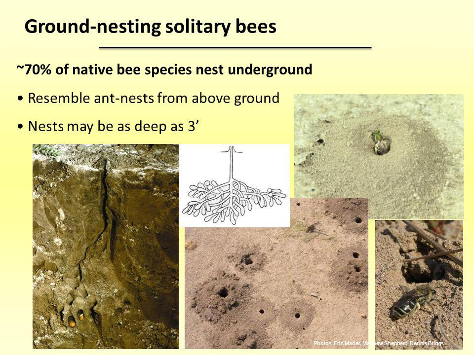 Ground-nesting solitary bees