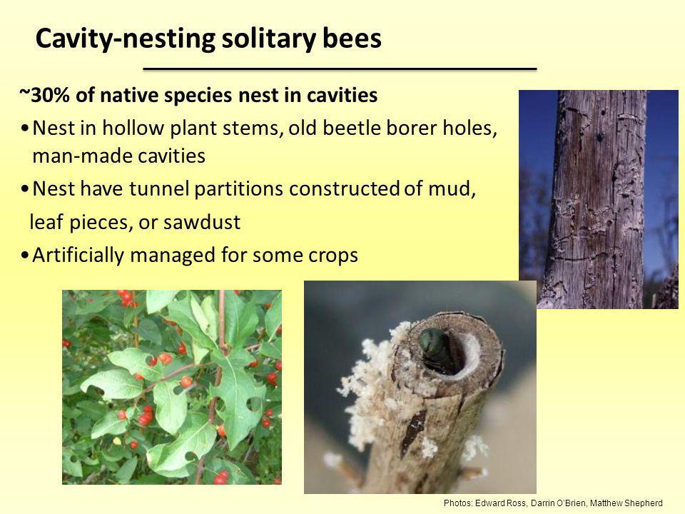 Cavity-nesting solitary bees