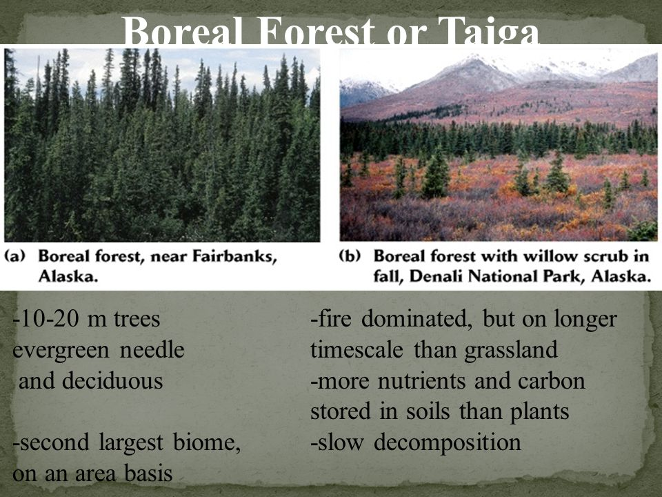 Boreal Forest or Taiga -10-20 m trees evergreen needle and deciduous