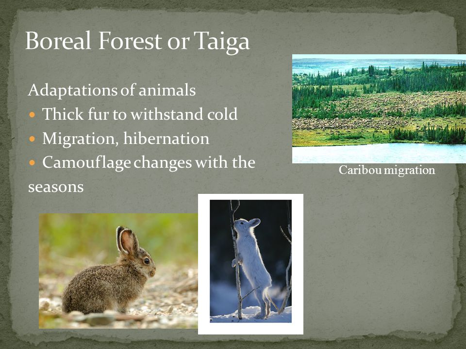 Boreal Forest or Taiga Adaptations of animals