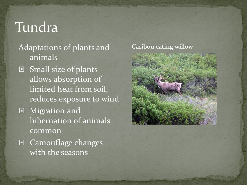 Tundra Adaptations of plants and animals