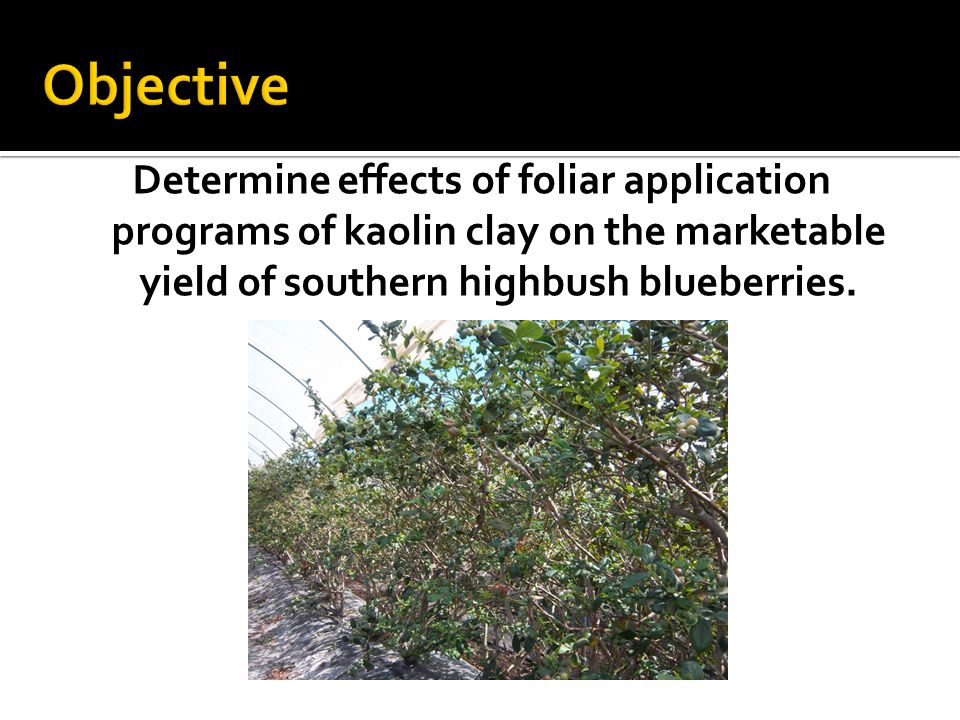 Objective Determine effects of foliar application programs of kaolin clay on the marketable yield of southern highbush blueberries.