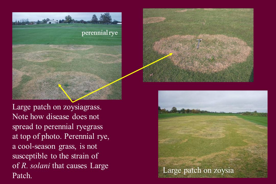 Large patch on zoysiagrass. Note how disease does not