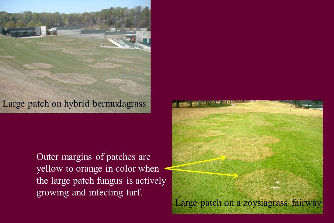 Large patch on hybrid bermudagrass