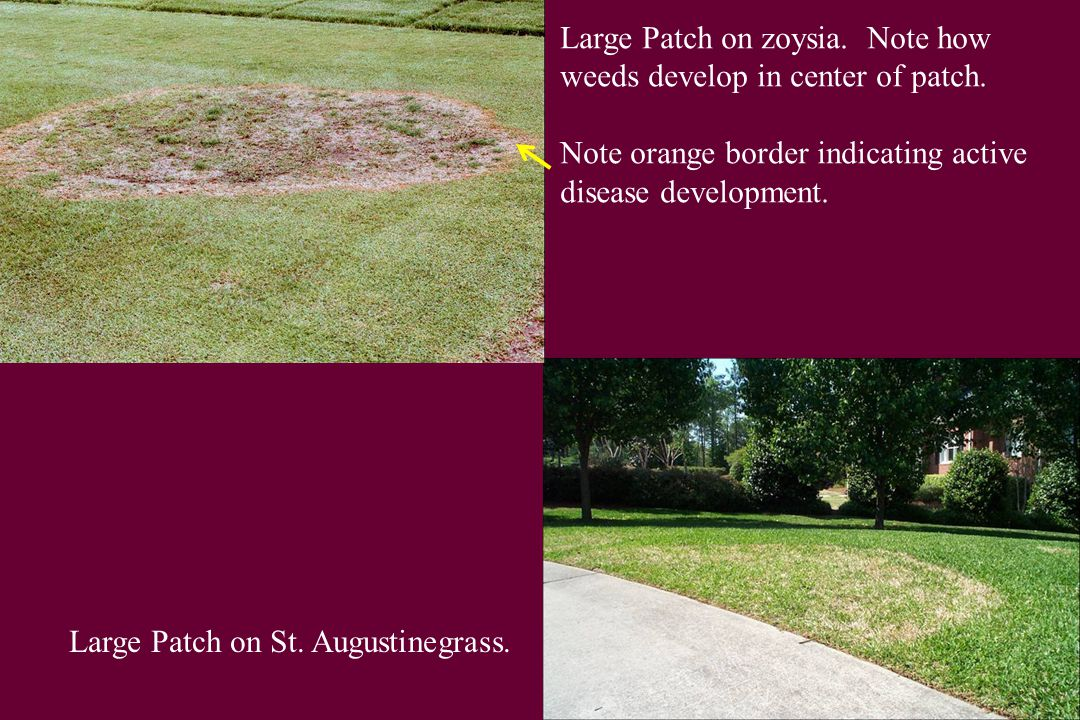 Large Patch on zoysia. Note how