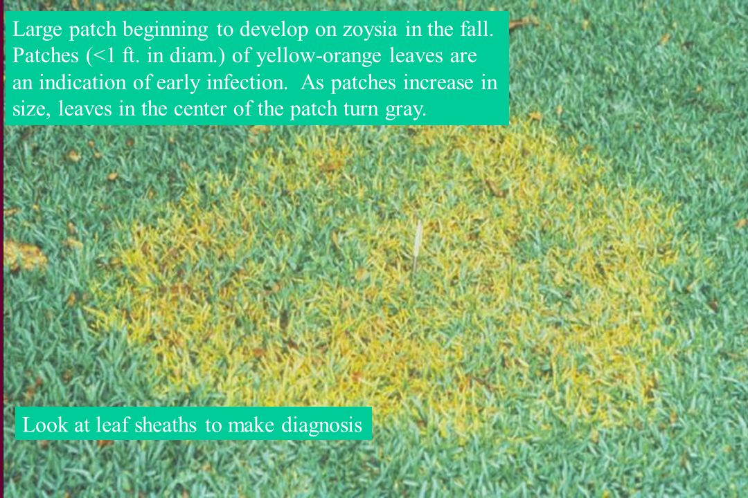 Large patch beginning to develop on zoysia in the fall.