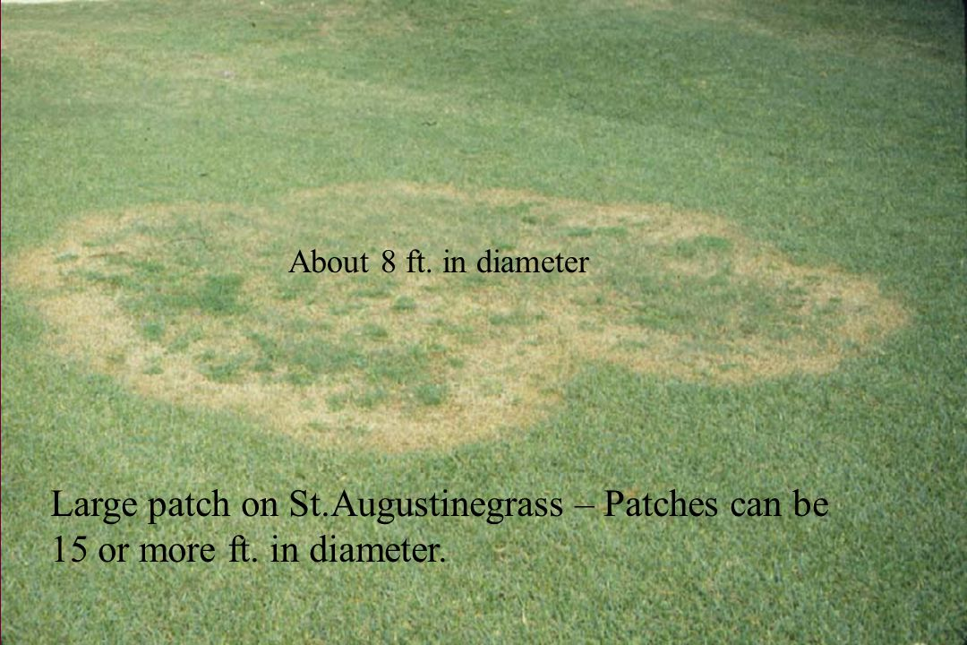 Large patch on St.Augustinegrass – Patches can be