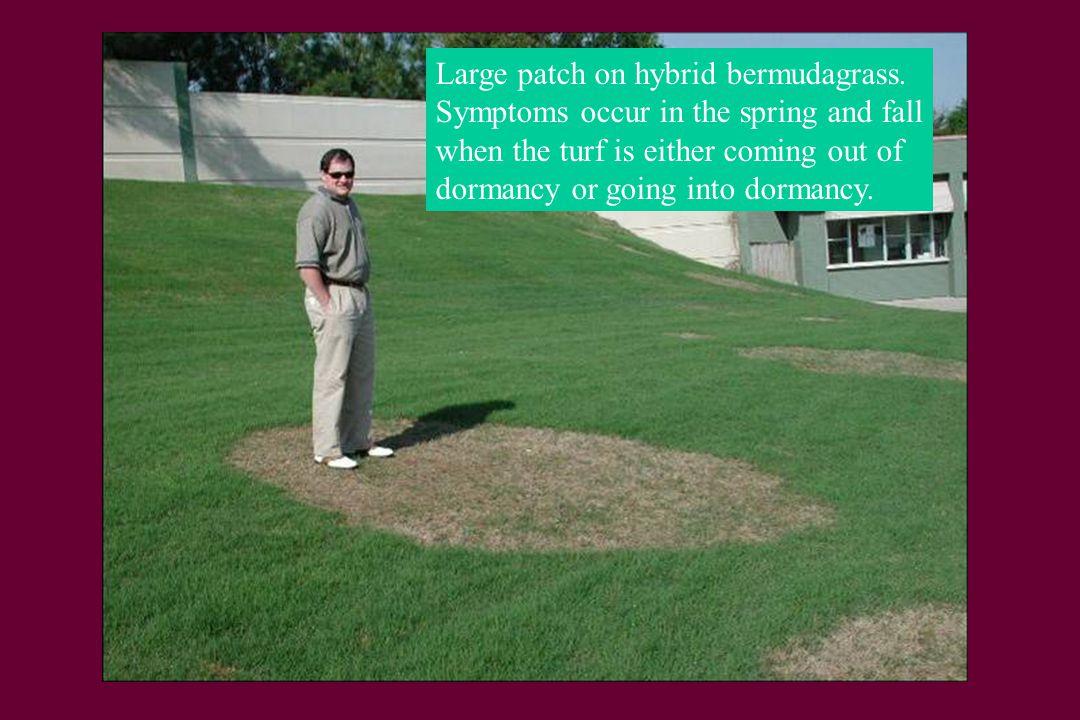 Large patch on hybrid bermudagrass.