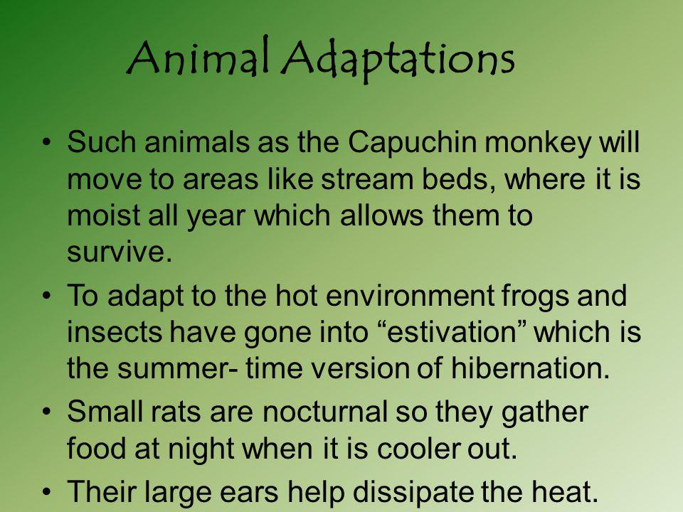 Animal Adaptations Such animals as the Capuchin monkey will move to areas like stream beds, where it is moist all year which allows them to survive.