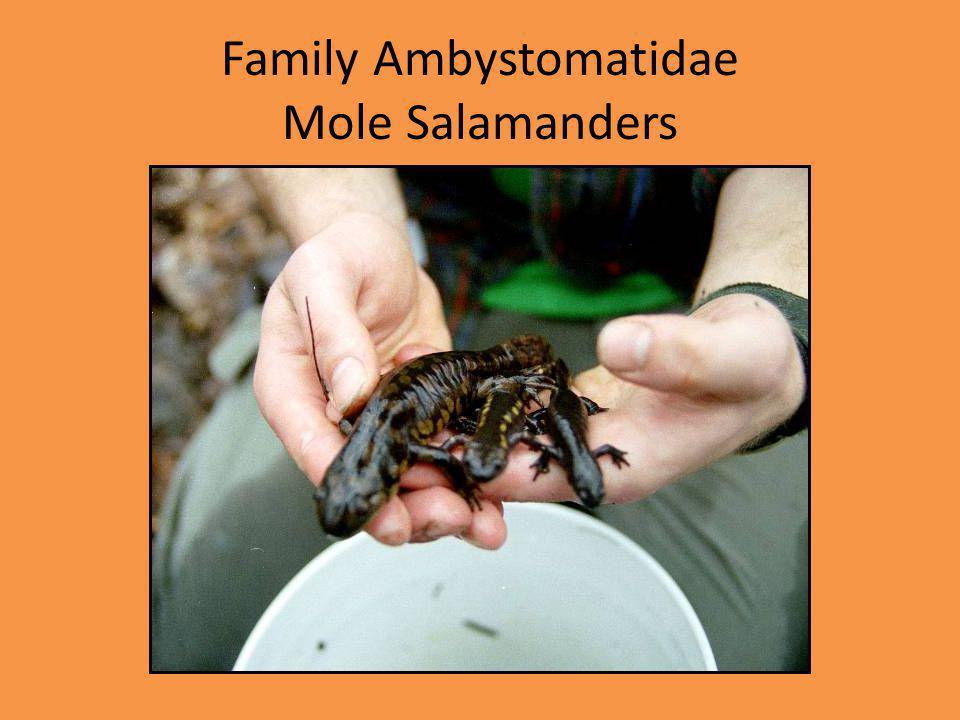 Family Ambystomatidae Mole Salamanders