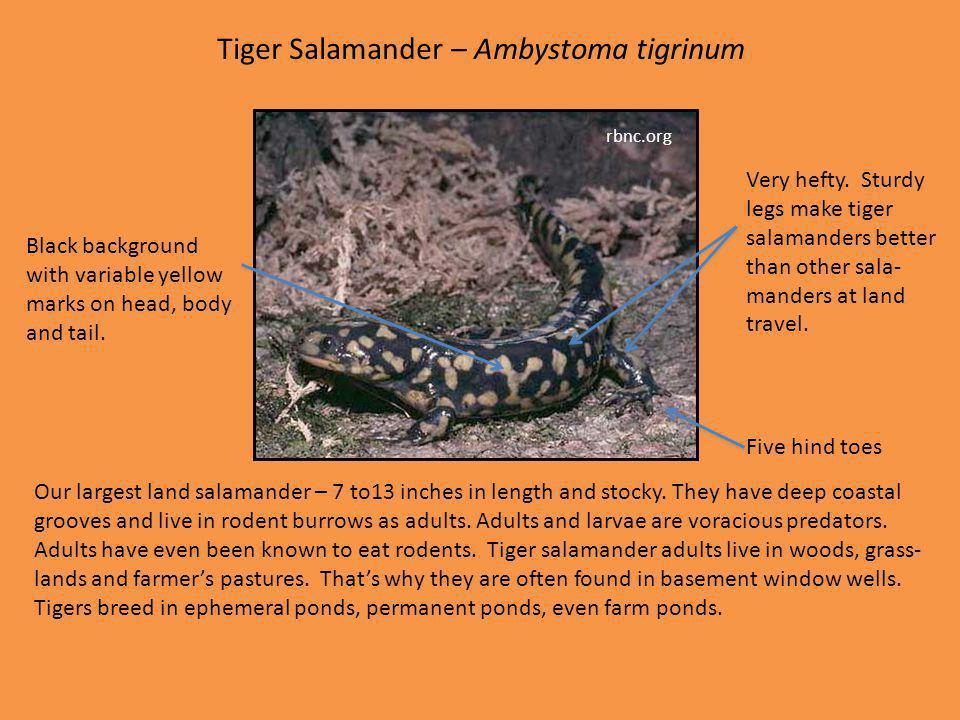 Tiger Salamander – Ambystoma tigrinum
