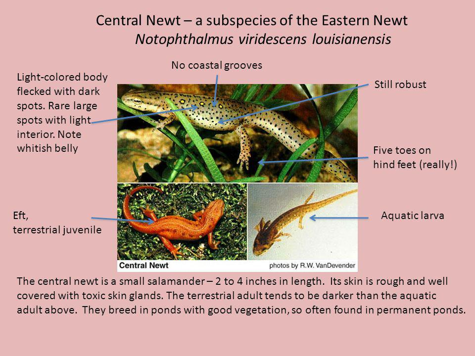 Central Newt – a subspecies of the Eastern Newt