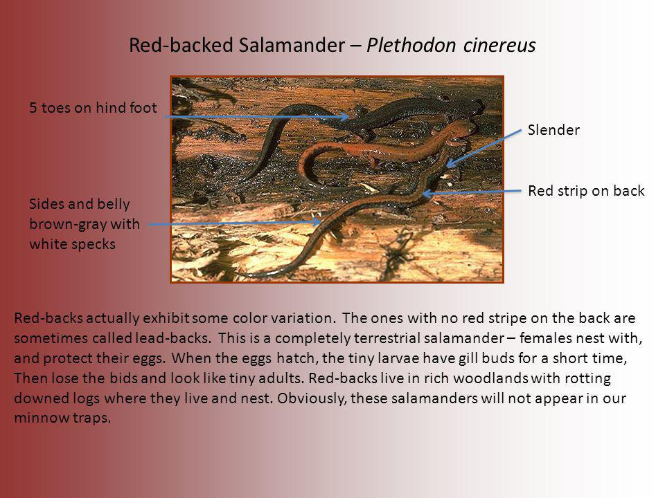 Red-backed Salamander – Plethodon cinereus