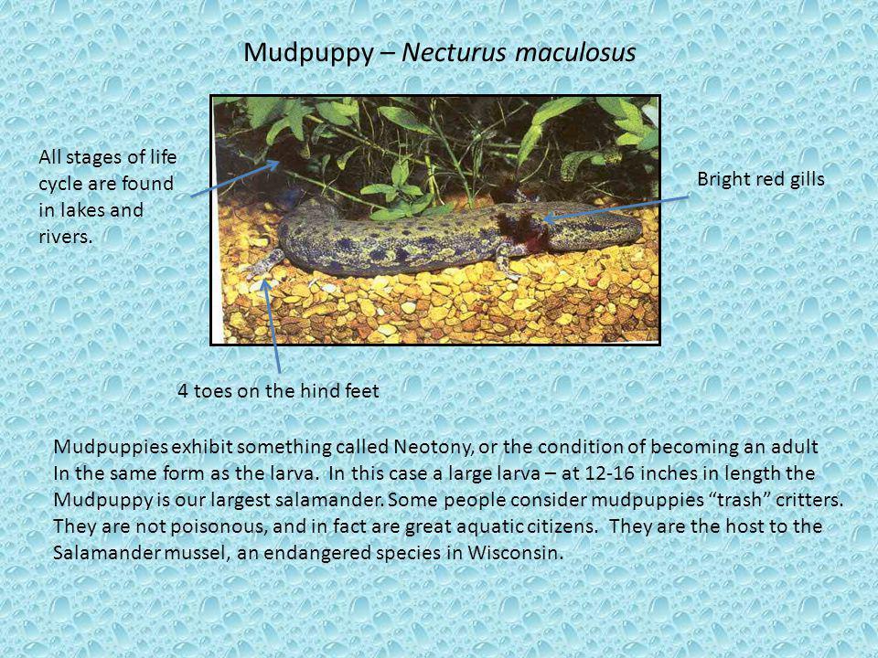 Mudpuppy – Necturus maculosus