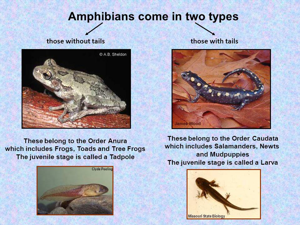 Amphibians come in two types