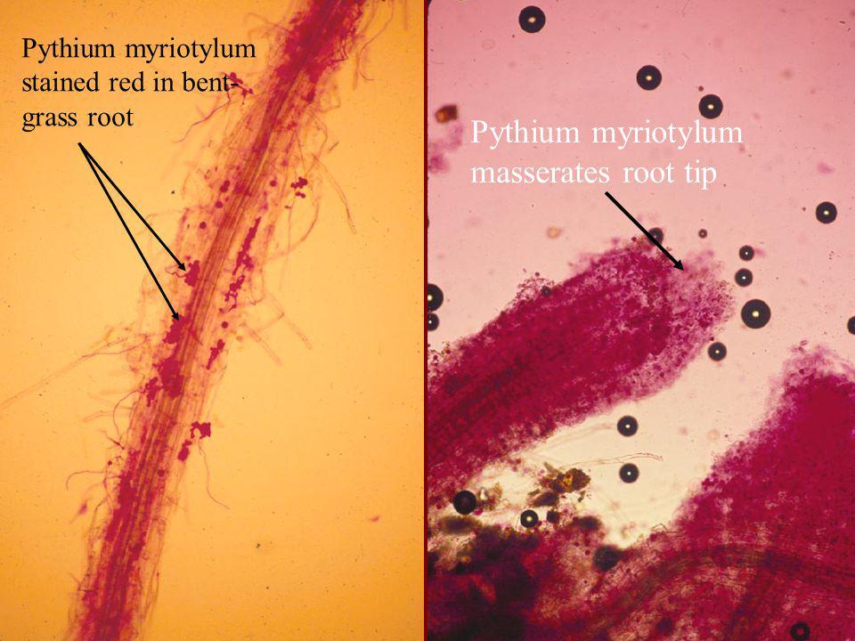 Pythium myriotylum masserates root tip Pythium myriotylum