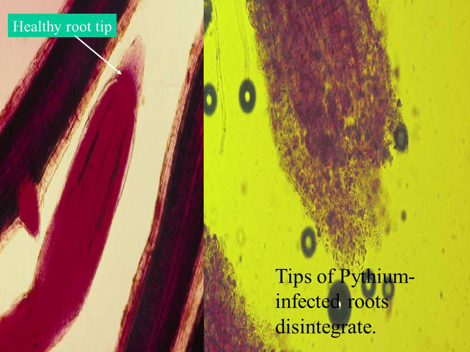 Healthy root tip Tips of Pythium- infected roots disintegrate.