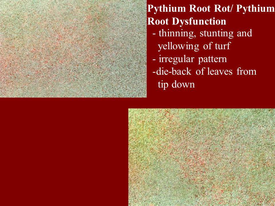 Pythium Root Rot/ Pythium