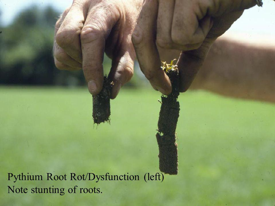 Pythium Root Rot/Dysfunction (left)