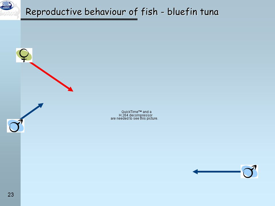 Reproductive behaviour of fish - bluefin tuna