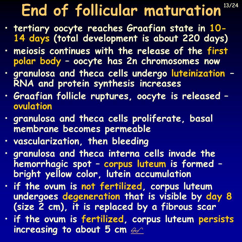 End of follicular maturation