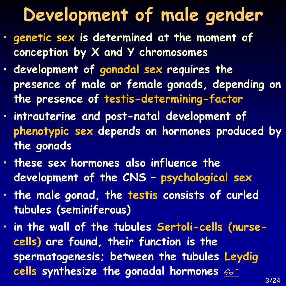 Development of male gender