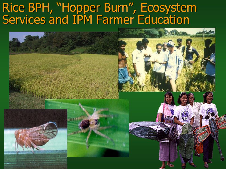 Rice BPH, Hopper Burn , Ecosystem Services and IPM Farmer Education
