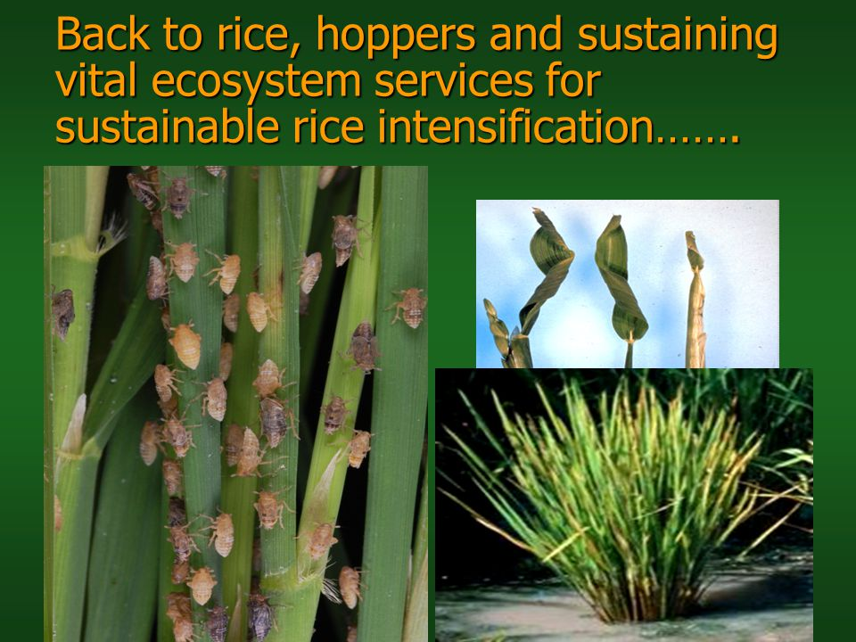 Back to rice, hoppers and sustaining vital ecosystem services for sustainable rice intensification…….