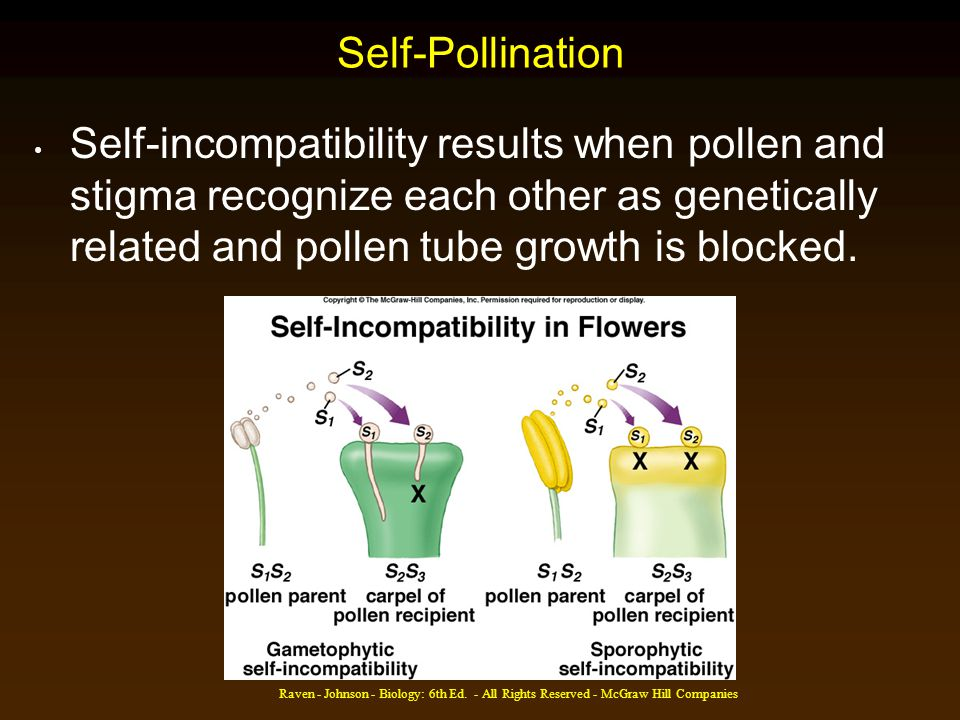 Self-Pollination Self-incompatibility results when pollen and stigma recognize each other as genetically related and pollen tube growth is blocked.
