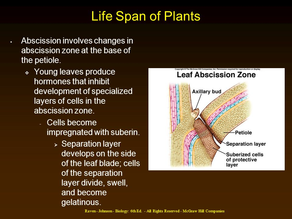 Life Span of Plants Abscission involves changes in abscission zone at the base of the petiole.