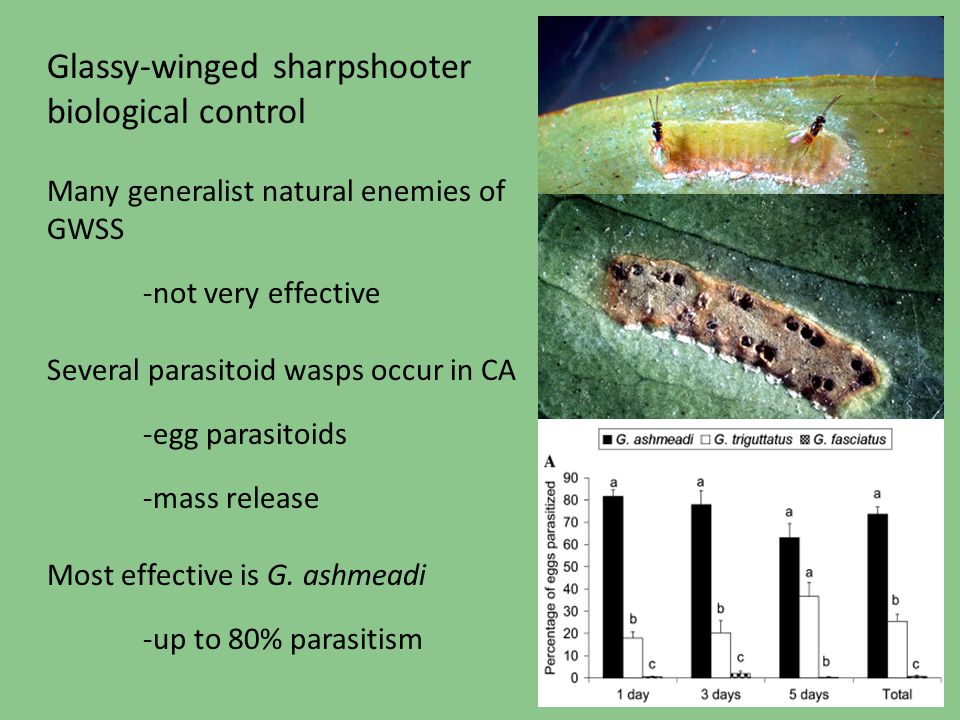 Glassy-winged sharpshooter biological control