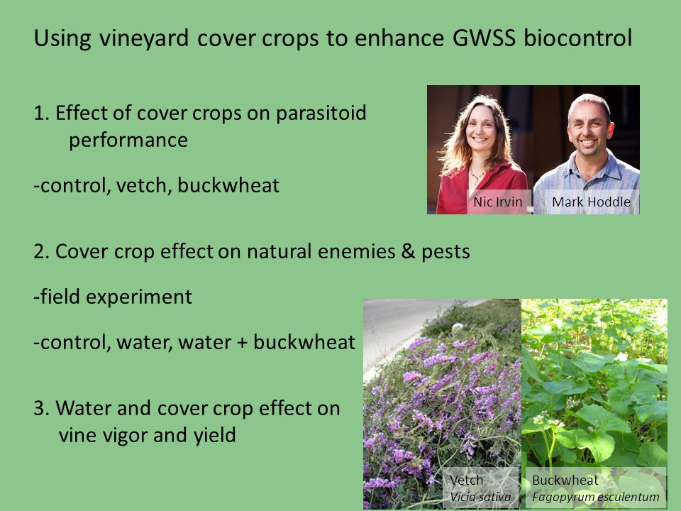 Using vineyard cover crops to enhance GWSS biocontrol