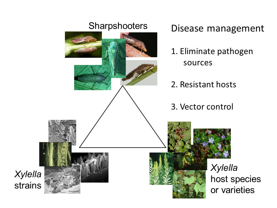 Disease management Sharpshooters 1. Eliminate pathogen sources