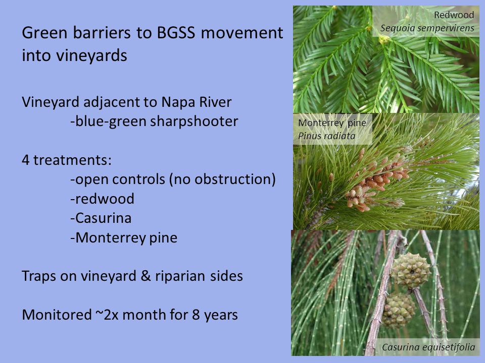 Green barriers to BGSS movement into vineyards