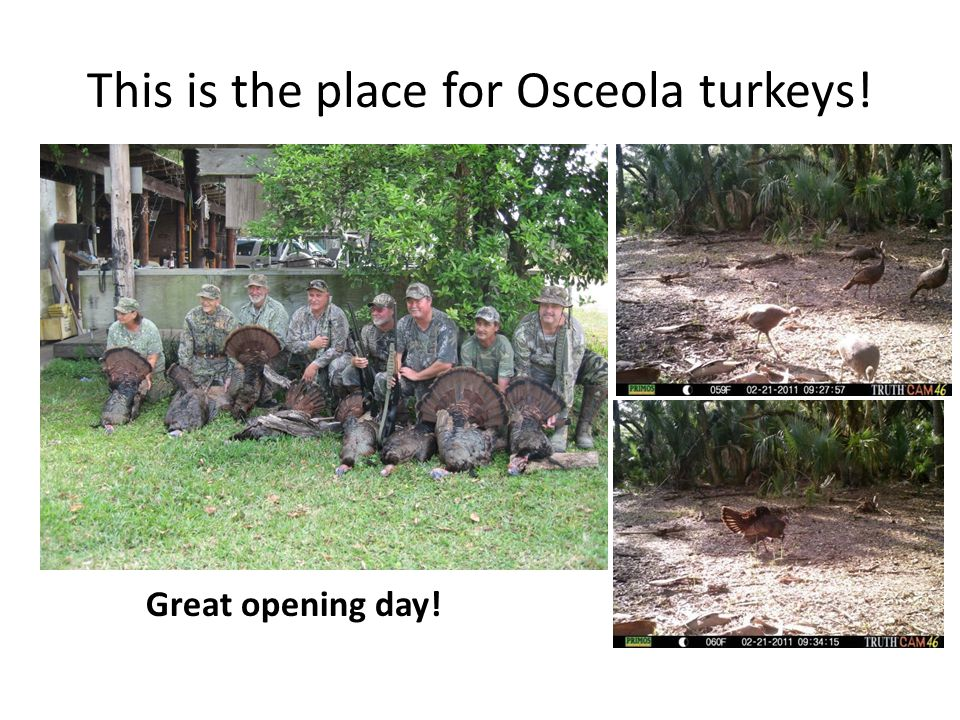 This is the place for Osceola turkeys!