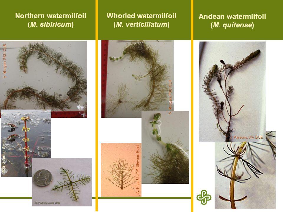 Northern watermilfoil (M. sibiricum)