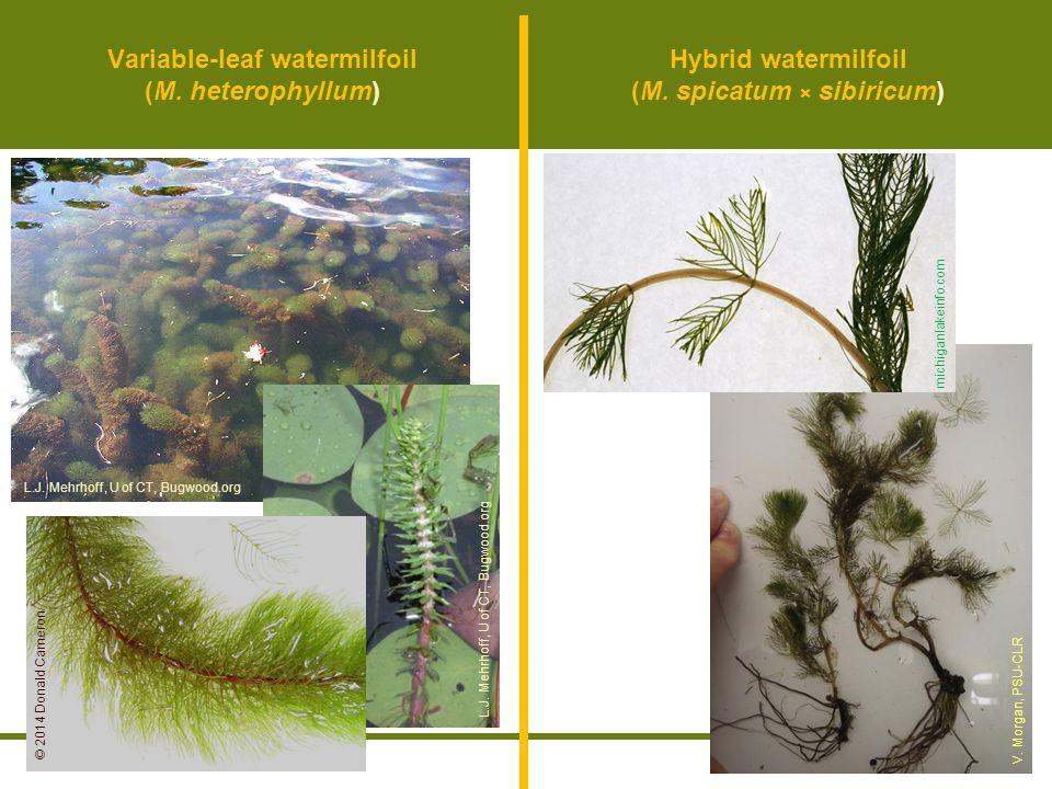 Variable-leaf watermilfoil (M. heterophyllum)