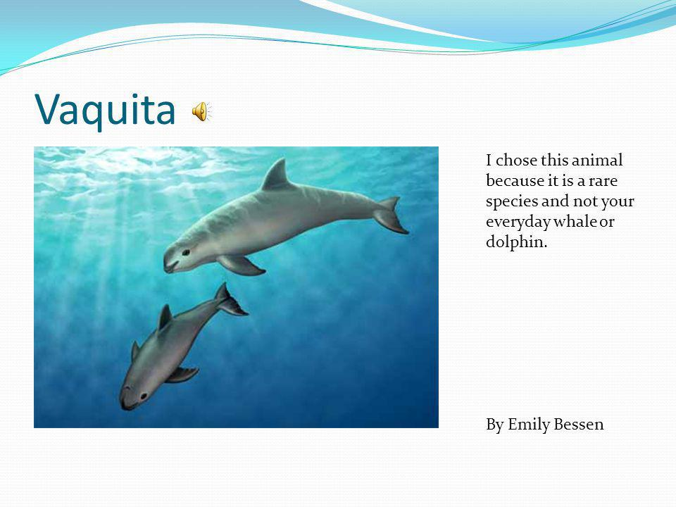 Vaquita I chose this animal because it is a rare species and not your everyday whale or dolphin.