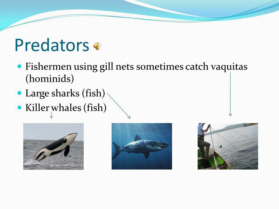 Predators Fishermen using gill nets sometimes catch vaquitas (hominids) Large sharks (fish) Killer whales (fish)