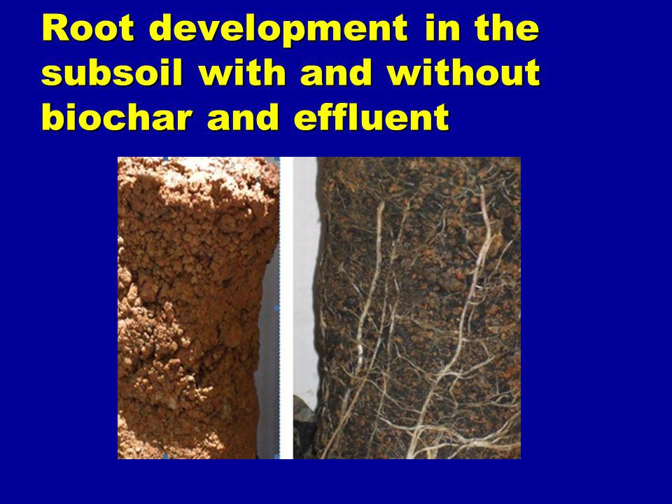Root development in the subsoil with and without biochar and effluent