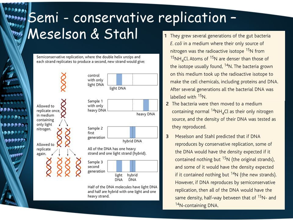 Semi - conservative replication – Meselson & Stahl