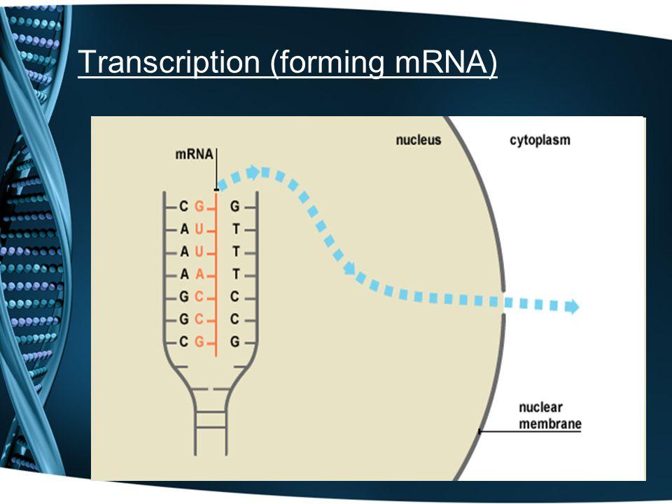 Transcription (forming mRNA)