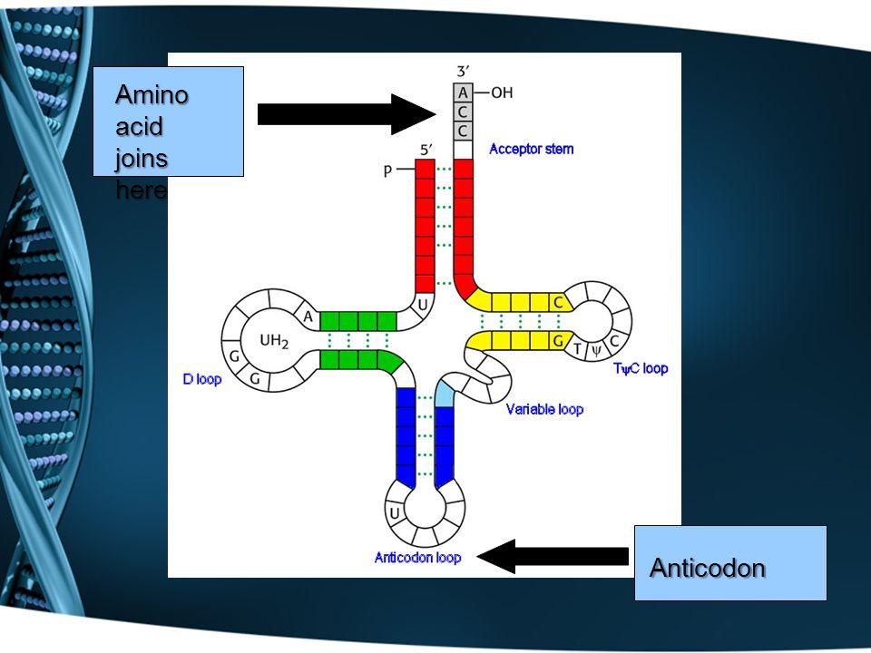Amino acid joins here Anticodon