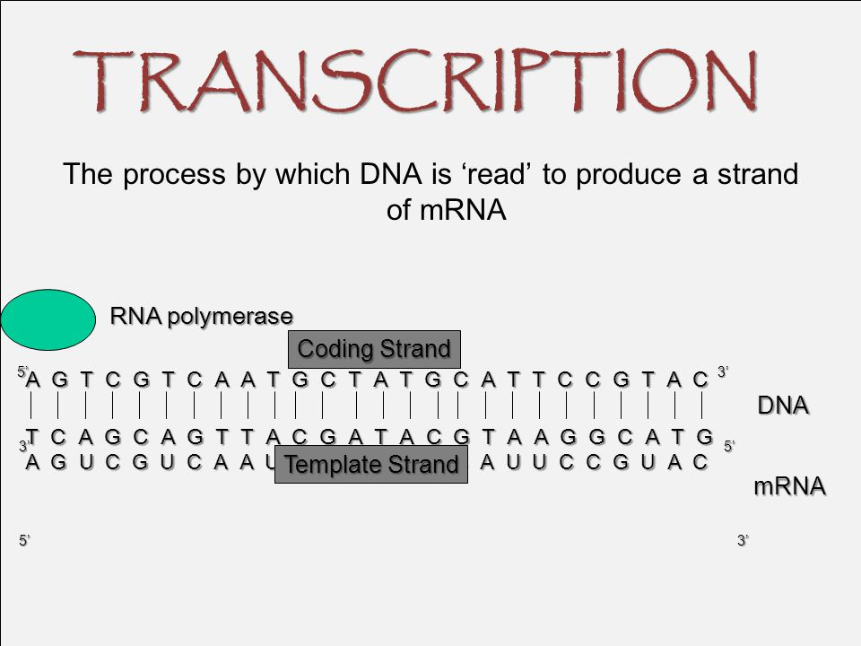 The process by which DNA is 'read' to produce a strand of mRNA